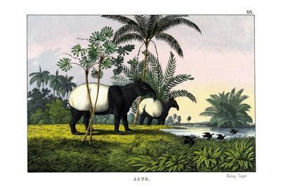 https://imgc.allpostersimages.com/img/posters/malayan-tapir-1860_u-L-PVC3T50.jpg?p=0