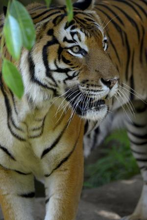 https://imgc.allpostersimages.com/img/posters/malayan-tiger-panthera-tigris-jacksoni-malaysia_u-L-Q13A7SB0.jpg?p=0
