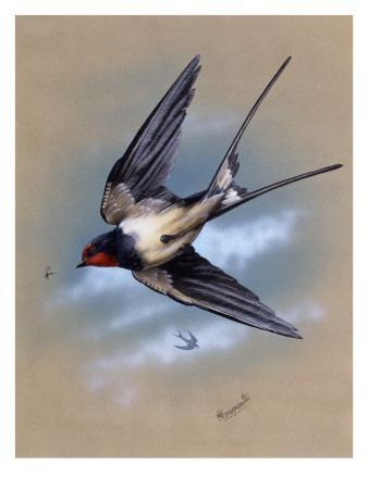 A Swallow (Hirundo Rustica) in Flight. Painting by Malcolm Greensmith