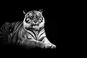 Tiger by Malcolm MacGregor
