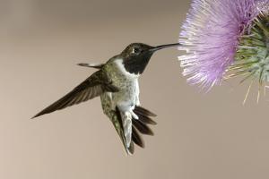 Black-chinned Hummingbird (Archilochus alexandri) In flight, hovering by Malcolm Schuyl