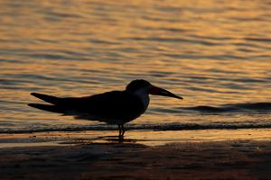 Black Skimmer (Rynchops nigra) adult silhouette, on beach at sunset, Florida, USA by Malcolm Schuyl