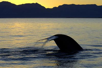 Blue Whale (Balaenoptera musculus) adult, tail fluke raised, silhouetted at sunset