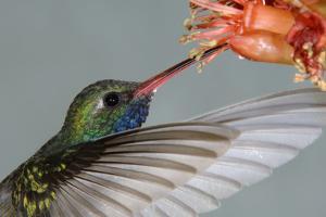 Broad-billed Hummingbird (Cynanthus latirostris) Male in flight, hovering by Malcolm Schuyl