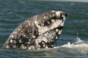Grey Whale (Eschrichtius robustus) adult, close-up of flipper with heavy scarring, San Ignacio by Malcolm Schuyl