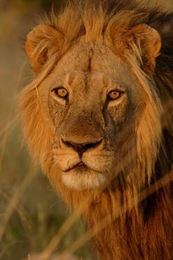 Lion (Panthera leo) adult male, close-up of head, Botswana by Malcolm Schuyl