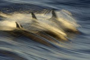 Long-beaked Common Dolphin (Delphinus capenisis) adults, porpoising, Sea of Cortez by Malcolm Schuyl