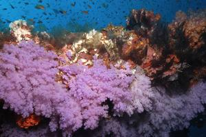 Purple Soft Coral in tropical reef, Maldives by Malcolm Schuyl