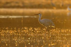 Sandhill Crane (Grus canadensis) In water, backlit in evening light, Bosque, New Mexico by Malcolm Schuyl