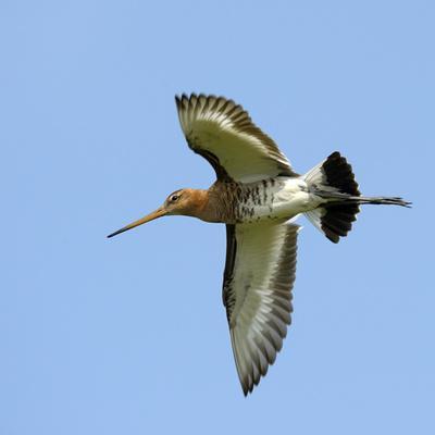 https://imgc.allpostersimages.com/img/posters/male-black-tailed-godwit-limosa-limosa-in-flight-marais-breton-brittany-bretagne_u-L-Q13A8NL0.jpg?p=0