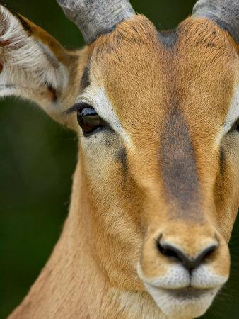 https://imgc.allpostersimages.com/img/posters/male-impala-kruger-national-park-south-africa-africa_u-L-P7NP8G0.jpg?p=0