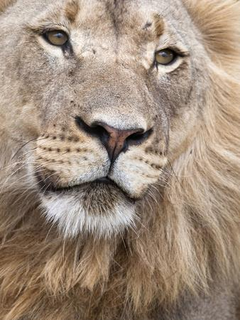 https://imgc.allpostersimages.com/img/posters/male-lion-panthera-leo-addo-national-park-eastern-cape-south-africa-africa_u-L-PFNTRD0.jpg?p=0