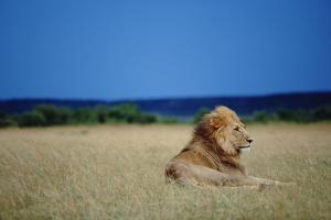 Male Lion Resting on Savanna