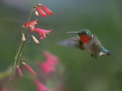 https://imgc.allpostersimages.com/img/posters/male-ruby-throated-hummingbird-arkansas-usa_u-L-Q1D01GP0.jpg?artPerspective=n