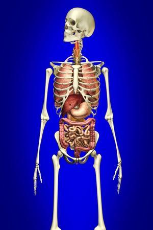 https://imgc.allpostersimages.com/img/posters/male-skeleton-with-internal-organs-on-blue-background_u-L-PN8UX80.jpg?artPerspective=n