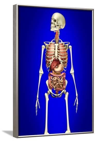 Male Skeleton with Internal Organs on Blue Background--Framed Art Print
