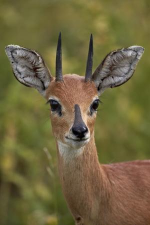 https://imgc.allpostersimages.com/img/posters/male-steenbok-raphicerus-campestris-kruger-national-park-south-africa-africa_u-L-PQ8O2N0.jpg?p=0