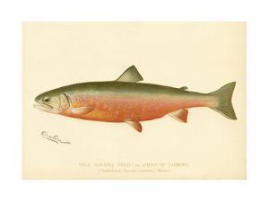 Male Sunapee Trout