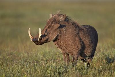 https://imgc.allpostersimages.com/img/posters/male-warthog-phacochoerus-aethiopicus-ngorongoro-crater-tanzania-east-africa-africa_u-L-PNFZ310.jpg?artPerspective=n