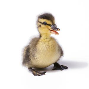Mallard Duck Duckling at 24 Hours