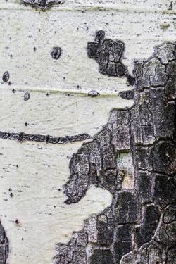 A Macro Shot of Aspen Bark on an Aspen Tree by Mallorie Ostrowitz
