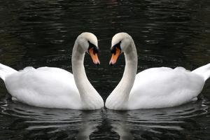 Swan Symbol of Love by mamaluk