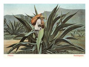 Man Harvesting Maguey Juice for Tequila, Mexico