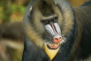 Mandrill Baboon Close-Up of Face