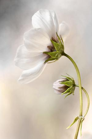 Heavenly Cosmos by Mandy Disher