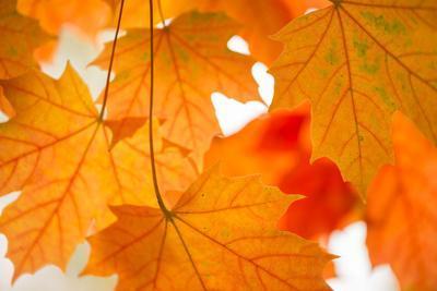 https://imgc.allpostersimages.com/img/posters/maple-leaves-fall-colors_u-L-Q1EXSUM0.jpg?artPerspective=n