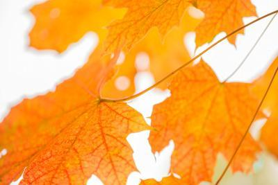 https://imgc.allpostersimages.com/img/posters/maple-leaves-fall-colors_u-L-Q1EXSXK0.jpg?artPerspective=n