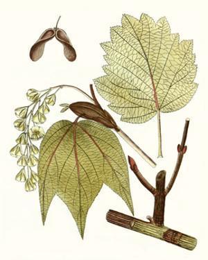 Maple Leaves II