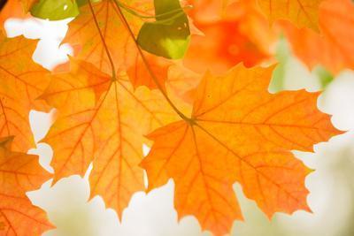 https://imgc.allpostersimages.com/img/posters/maple-leaves-in-beautiful-fall-colors_u-L-Q1EYIXL0.jpg?artPerspective=n