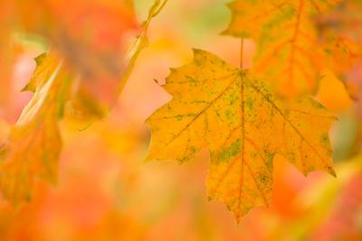 https://imgc.allpostersimages.com/img/posters/maple-leaves-in-fall-colors_u-L-Q1EXSW90.jpg?artPerspective=n
