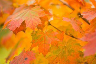 https://imgc.allpostersimages.com/img/posters/maple-leaves-in-fall-colors_u-L-Q1F2OCN0.jpg?artPerspective=n