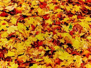 Maple leaves on ground, New York State, USA