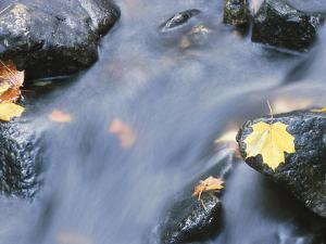 Maple Leaves on Rocks in Rapids