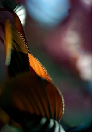 Feuilles Prunus II