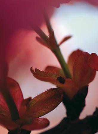 Prunus III