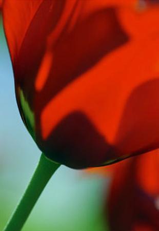Tulipe IV
