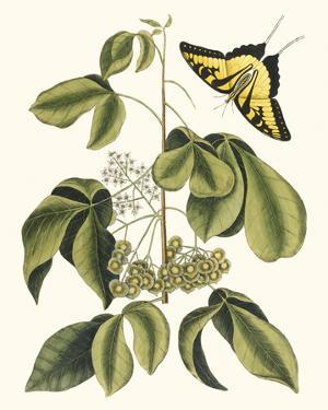Papilio Antilochus by Marc Catesby