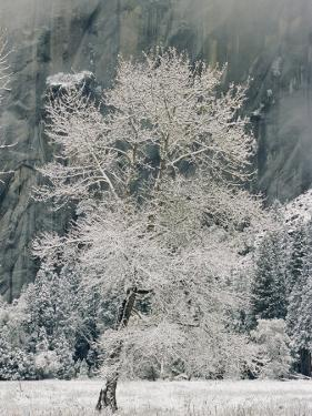A Black Oak Tree Covered in Frost by Marc Moritsch