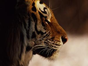 A Close Profile View of a Siberian Tiger by Marc Moritsch