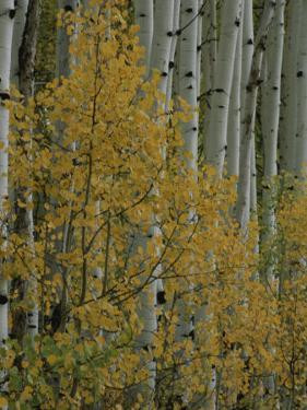 A Close View of Quaking Aspen Trees Growing Along the Kebler Pass in Colorados Elk Mountains by Marc Moritsch