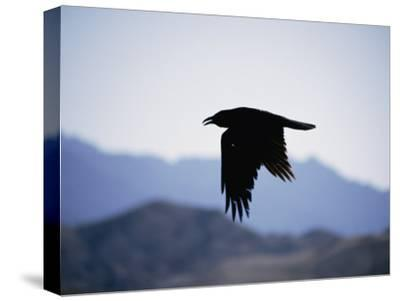 A Common Raven is Silhouetted against the Sky by Marc Moritsch