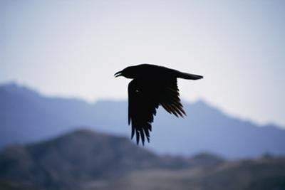 A Common Raven Is Silhouetted as it Flies Above California's Death Valley National Monument by Marc Moritsch
