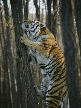A Male Siberian Tiger Scales a Tree to Reach the Skin of a Wild Boar by Marc Moritsch