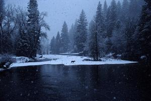 A Mule Deer Walks Along the Merced River in a Snow Storm at Twilight. by Marc Moritsch