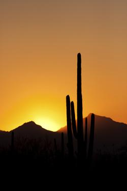 A Saguaro Cactus, Carnegiea Gigantea, Silhouetted at Sunset by Marc Moritsch