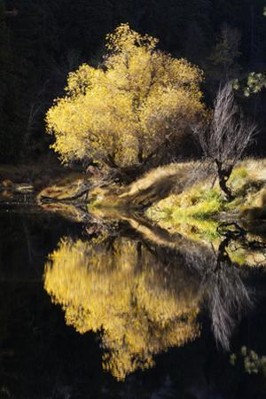 A Scenic Autumn Landscape of a Willow Tree and its Reflection in the Merced River by Marc Moritsch
